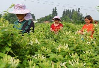 <b>山东高唐县:李庆江回乡种植金银花 打开致富之门</b>