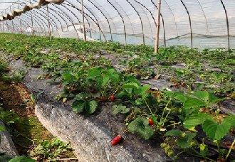 安徽泗县:草莓产园成致富园 让贫困户走上脱贫致富道路
