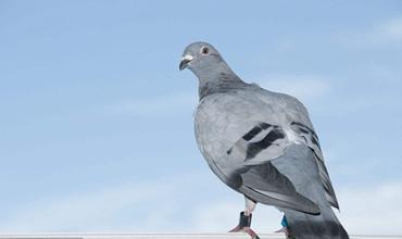信鸽的养殖需要注意哪些事项?信鸽的基本养殖技术
