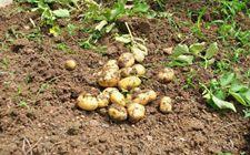 <b>马铃薯的常见疾病有哪些?马铃薯常见疾病介绍</b>