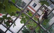 阳台上怎么种葡萄?阳台盆栽葡萄方法与技巧