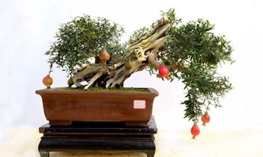 石榴盆栽怎么养?石榴盆栽的制作与养护技巧