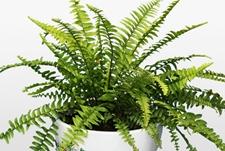 蜈蚣草是什么草,蜈蚣草入药有什么功效?