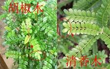 清香木和胡椒木有什么区别?胡椒木怎么养?
