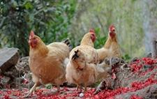 <b>农村老人怎么预测母鸡有没有蛋?辨别母鸡是否下蛋的土方法</b>