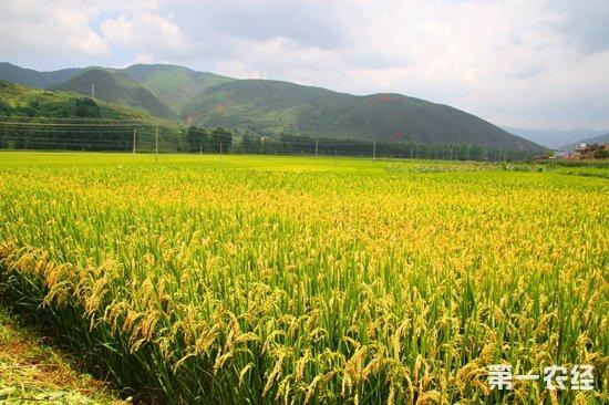 水稻病虫害识别系统:可以自动识别水稻50余种虫害