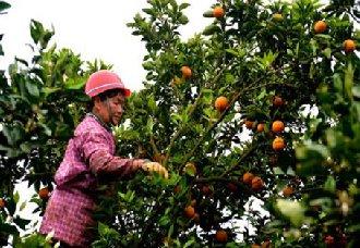 <b>广西南丹县罗富镇:覃秋贵种植柑橘年入百万 带上村民一起致富</b>