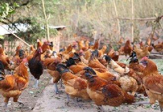 安徽光明村:王云峰养殖土鸡 走出自己的脱贫致富路