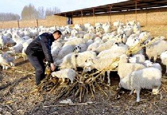 """贵州下溪乡:刘金贵从贫困户到""""养羊之星""""的致富路"""