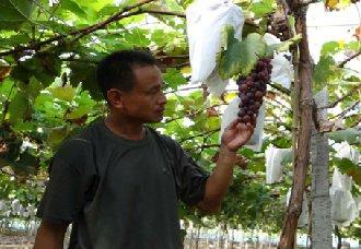 <b>江西:退役老兵余顺勇回家种植葡萄 带动相邻共致富</b>