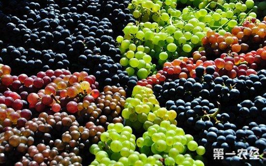 西瓜上市量不足价格回升 葡萄李子蜜柚新鲜上市