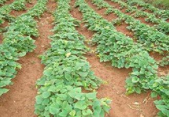 重庆:一年两季薯第一季取得成功,或将提高30%~45%产量