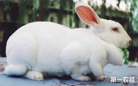獭兔繁殖技术以及提高獭兔繁殖效果的方法