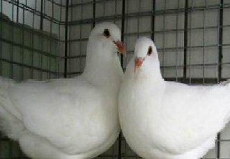 肉鸽为什么会产软壳蛋?肉鸽下软蛋的原因及防治方法