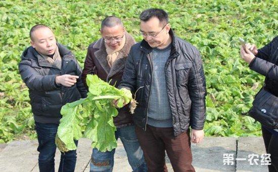 榨菜怎么种?榨菜如何种植才会高产