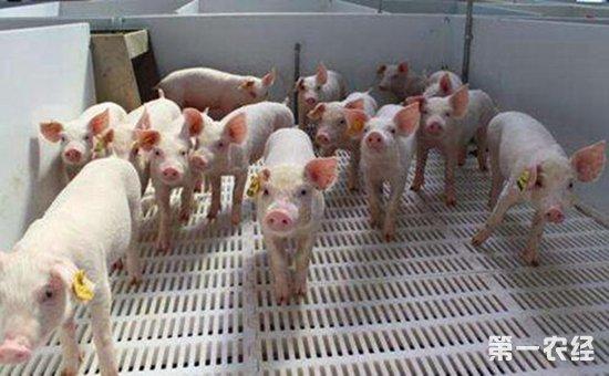 每天查情2-3次,用2-3头性欲强的公猪轮番刺激,每次每栏(最佳8-10头)刺激10-15分钟。公猪应单独饲养,配种时公猪在母猪前面刺激,每4-5头一隔进行。判断适时输精时间,最关键的是判断发情母猪静立反射的持续时间,持续时间长的母猪(如断奶后3-4天发情的母猪)适当推迟配种,持续时间短的(如后备母猪)要尽早配种。在静立反射结束前保证有两次输精(间隔12小时或24小时)可以保证最佳的输精效果。输精后30分钟内不要移动母猪,如果需要调栏混群也应在最后一次配种后半小时和2天内移动。