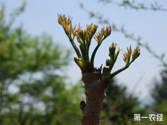 刺龙芽要怎么种植?刺龙芽的林间种植技术