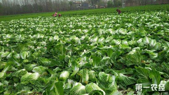 大白菜苗期怎么管理?大白菜的苗期管理要点