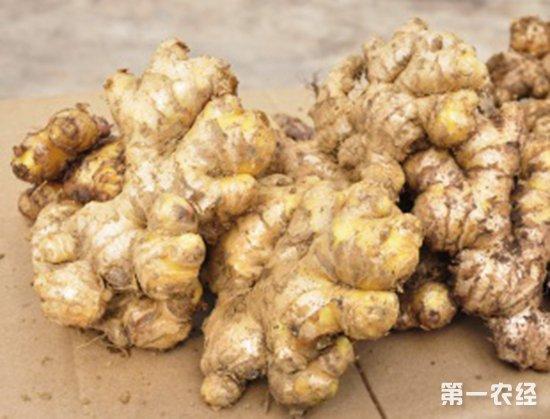 怎么提高生姜产量?生姜生长旺盛期的管理技术