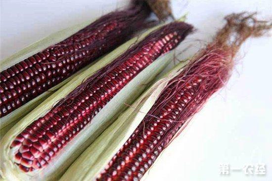 农科院:在高花青素玉米种质创制方面取得新进展