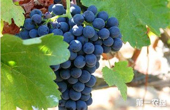 葡萄酒入门知识:常见的八种酿酒葡萄介绍