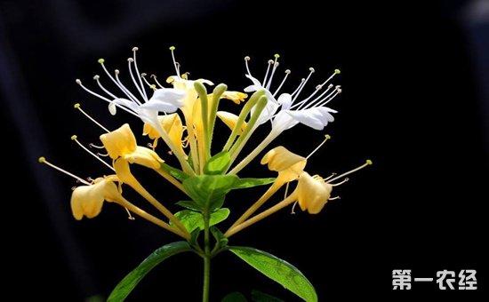金银花怎么养?金银花的繁殖方法