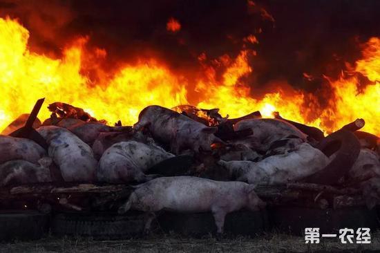 非洲猪瘟已在我国连发四起 没有特效药各养殖户要注意防疫