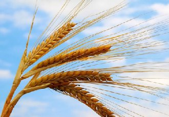<b>小麦糊粉层分离技术,粮食行业中的一项重大科技突破</b>