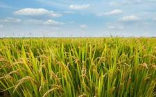 国家统计局:2018全国早稻产量相比去年有所减少