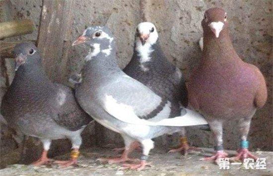 养鸽子要注意些什么 养殖鸽子的注意事项