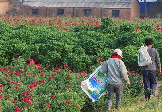<b>天津:村支书王志广变成花农 引导村民一起种植玫瑰实现致富</b>