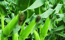 玉米空杆的原因及解决方法