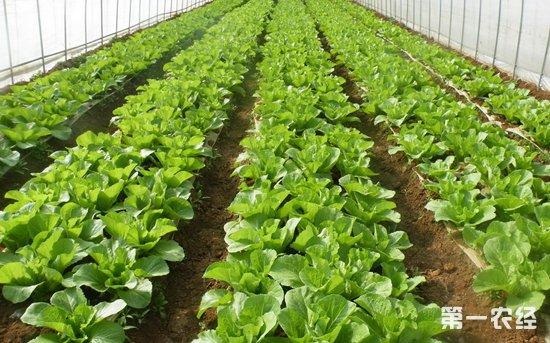 天津加大秋季蔬菜生产力度 涉农区已播种37万亩