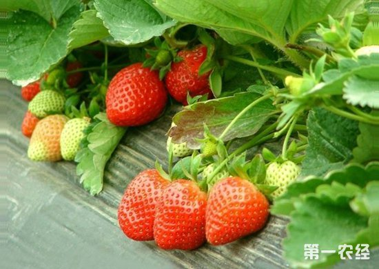 草莓为什么会得根腐病?要怎么防治草莓根腐病?