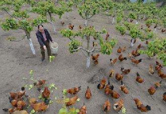 <b>陕西柞水县:李远沼山林下养鸡致富带上乡亲一起增收</b>