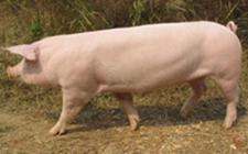<b>世界著名瘦肉型猪品种-长白猪</b>