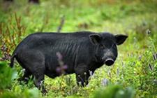 适合在四川养殖的一些猪品种介绍