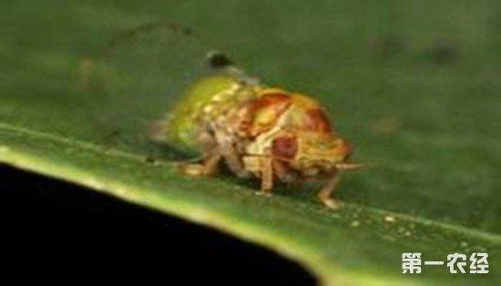 梨木虱应该如何防治?梨木虱的防治措施