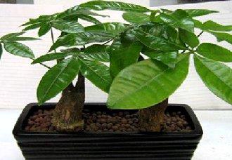 发财树多少钱一棵?