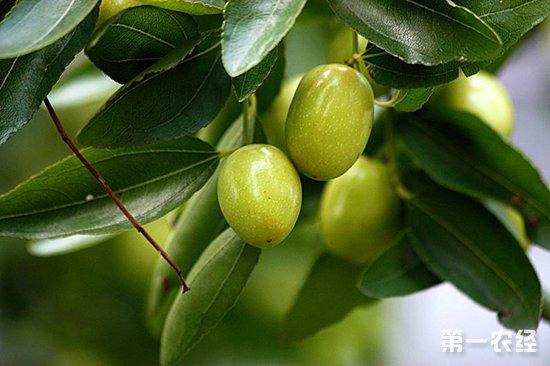 枣树桃小食心虫要怎么防治?桃小食心虫的防治措施