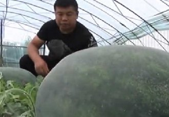 "<b>沈阳:""西瓜大王""李红新种出130斤西瓜 以2000元卖出</b>"