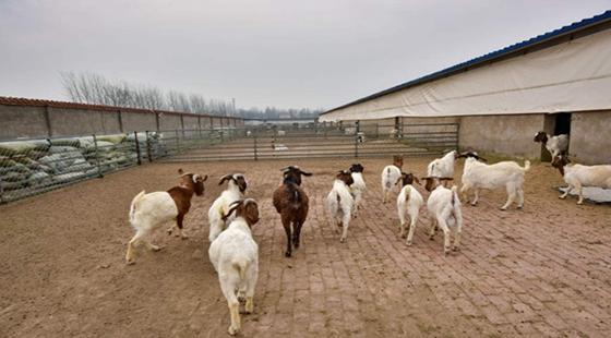 农村养羊有政策补贴吗?要怎么领取呢?