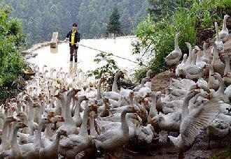 <b>安徽东至县:姚先红回乡养大白鹅 带动乡亲走出致富路</b>