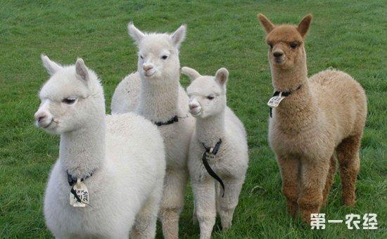 羊驼怎么繁殖?羊驼的繁殖选种技术