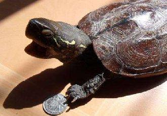 中华草龟怎么养?中华草龟的喂养管理