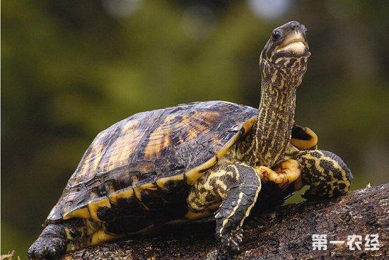 乌龟的水要用什么水_为什么乌龟要养三只_乌龟的养殖方法和注意事项