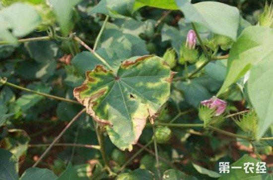 棉花枯黄萎病有哪些表现?该如何防治