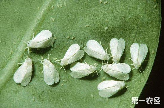 白粉虱该如何防治?这些方法防治白粉虱效果显著
