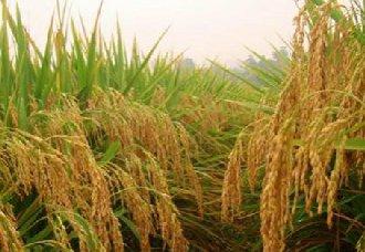 湖南溆浦县:四万余亩杂交水稻正在进行忙碌收割