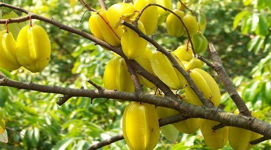 杨桃常见的病虫害有哪些?杨桃的病虫害和防治方法